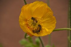 Escena de la primavera de la flor amarilla de la amapola con tres abejas Fotos de archivo libres de regalías