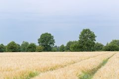 Escena de las pistas del tractor en la plantación de las plantas del cereal contra el cielo azul imagen de archivo
