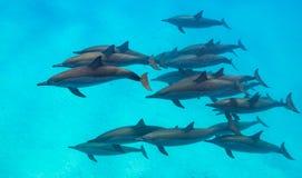 Escena de los delfínes del hilandero desde arriba Fotos de archivo libres de regalías