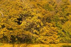 Escena de oro de los árboles forestales Imágenes de archivo libres de regalías