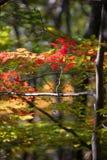 Escena del bosque, color, árbol fino vertical y rama horizontal con las hojas de otoño rojas Fotos de archivo