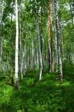 Escena del bosque del verano Fotos de archivo