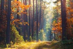 Escena del bosque del otoño La mañana viva en bosque colorido con el sol irradia a través de árboles Fotos de archivo libres de regalías