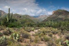 Escena del desierto de Sonoran Fotografía de archivo