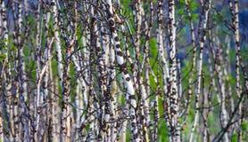 Escena del fondo del árbol de abedul en Noruega Imagenes de archivo