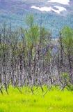 Escena del fondo del árbol de abedul y de la hierba verde en Noruega Imagenes de archivo
