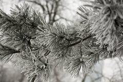 Escena del invierno con las ramas congeladas de la conífera Fotografía de archivo