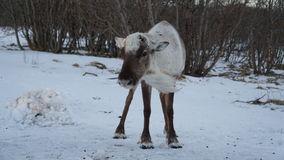 Escena del invierno: un reno en la nieve en un día ventoso Foto de archivo