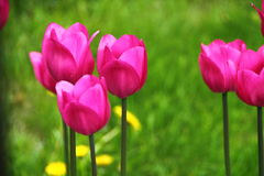 Escena del jardín de los tulipanes Imágenes de archivo libres de regalías