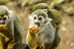 Escena del mono de araña fotos de archivo