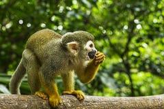 Escena del mono de araña fotografía de archivo libre de regalías