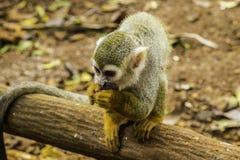 Escena del mono de araña imágenes de archivo libres de regalías