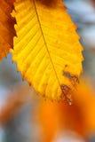 Escena del otoño con la gota del agua que cuelga en una hoja Imagen de archivo