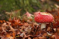 Escena del otoño: toadstool en un campo de hojas Foto de archivo