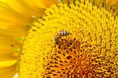 Escena del verano sobre las abejas que polinizan el girasol Imagenes de archivo