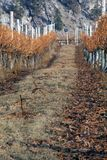 Escena del viñedo del invierno Imágenes de archivo libres de regalías