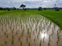 Escena fresca de la tarde del campo de arroz verde del brote del arroz, de la choza de reclinación y de árboles con la reflexión  Fotos de archivo