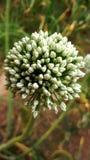 Escena hermosa de la flor de la cebolla wounderful fotografía de archivo libre de regalías