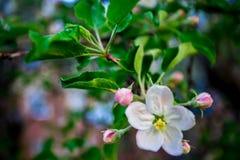 Escena hermosa de la naturaleza con el árbol floreciente Fotos de archivo