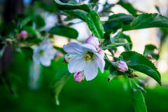 Escena hermosa de la naturaleza con el árbol floreciente Fotografía de archivo libre de regalías