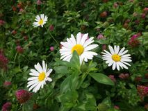 Escena hermosa de la naturaleza con las flores florecientes de la manzanilla en el parque fotos de archivo libres de regalías