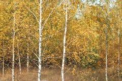 Escena hermosa en bosque amarillo del abedul del otoño Imagen de archivo