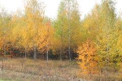 Escena hermosa en bosque amarillo del abedul del otoño Foto de archivo