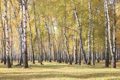 Escena hermosa en bosque amarillo del abedul del otoño Imágenes de archivo libres de regalías