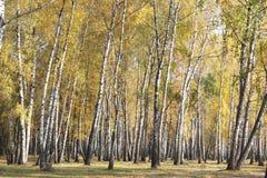 Escena hermosa en bosque amarillo del abedul del otoño Fotografía de archivo
