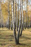 Escena hermosa en bosque amarillo del abedul del otoño Fotos de archivo