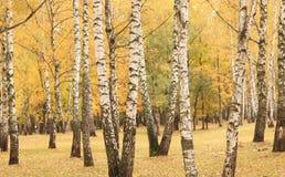 Escena hermosa en bosque amarillo del abedul del otoño en octubre con las hojas de otoño amarillas caidas Foto de archivo libre de regalías