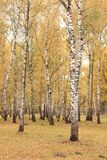 Escena hermosa en bosque amarillo del abedul del otoño en octubre con las hojas de otoño amarillas caidas Imagenes de archivo