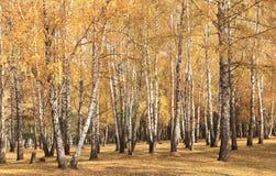 Escena hermosa en bosque amarillo del abedul del otoño en octubre con las hojas de otoño amarillas caidas Foto de archivo