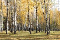 Escena hermosa en bosque amarillo del abedul del otoño en octubre con las hojas de otoño amarillas caidas Fotos de archivo