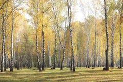 Escena hermosa en bosque amarillo del abedul del otoño en octubre con las hojas de otoño amarillas caidas Fotos de archivo libres de regalías