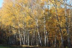 Escena hermosa en bosque amarillo del abedul del otoño en octubre con las hojas de otoño amarillas caidas Imágenes de archivo libres de regalías