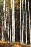Escena hermosa en bosque amarillo del abedul del otoño en octubre con las hojas de otoño amarillas caidas Imagen de archivo
