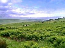 Escena idílica del país con las vacas al primero plano Imagen de archivo