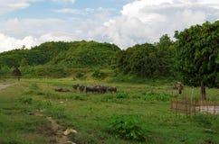 Escena idílica del pueblo con búfalos de agua y una mini pagoda en Mrauk-U fotografía de archivo libre de regalías