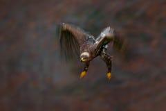 Escena móvil de la acción, pájaro oscuro del queso de cerdo que vuela de la estepa Eagle, nipalensis de la presa de Aquila, con e Fotografía de archivo