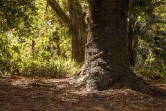 Escena orgánica del bosque con un árbol de pino enorme imagen de archivo