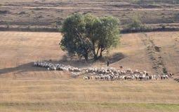 Escena pastoral con la multitud de ovejas Imagenes de archivo