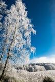 Escena romántica del invierno con el abedul en luz del sol Betula Foto de archivo libre de regalías