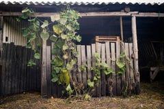 Escena rural del otoño con las hojas de las calabazas Imagen de archivo libre de regalías