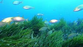 Escena subacuática - pescados congregados amarillos en un campo del posidonia del mar Mediterráneo metrajes