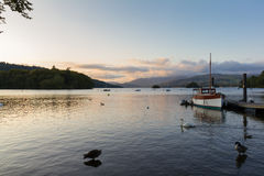 Escena tranquila de la oscuridad de cisnes mudos y de patos que nadan en el lago Windermere imagenes de archivo
