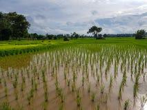 Escena tranquila fresca de la tarde de granjeros en campo de arroz verde claro del brote del arroz con los árboles, la reflexión  Imágenes de archivo libres de regalías