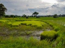 Escena tranquila fresca de la tarde de los granjeros que trabajan en el campo de arroz verde claro del brote del arroz con los ár Imagen de archivo
