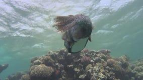 Escena tropical del arrecife de coral con el burrfish yellowspotted que nada sobre corales duros almacen de metraje de vídeo