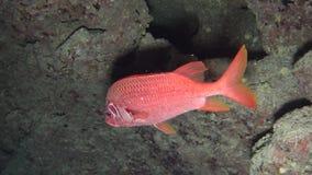 Escena tropical del arrecife de coral con el squirrelfish gigante en corales duros almacen de metraje de vídeo